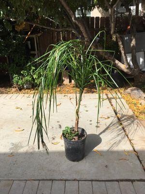 Palma for Sale in Wildomar, CA
