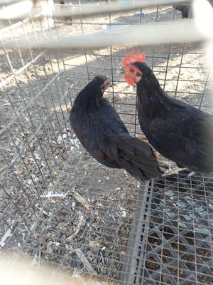 Two bantams for Sale in Sacramento, CA