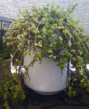Elephant Bush Plant in White Ceramic Planter for Sale in Phoenix, AZ