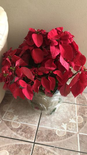 Extra large Poinsettas for Sale in Lakeland, FL