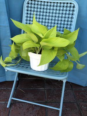 Neon Pothos 6 inch pot. for Sale in Covina, CA