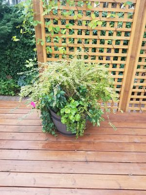 Outdoor plants in the pot. Evergreen for Sale in Gresham, OR