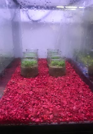 Aquarium / fish tank live carpeting plant decor for Sale in Spring Valley, CA