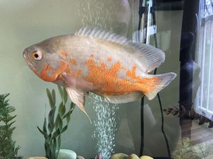 47 gallon fishtanks with Free Tyger albino Oscar for Sale in Arlington, VA