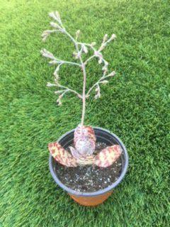 Succulent Plant / Unique for Sale in San Marcos, CA