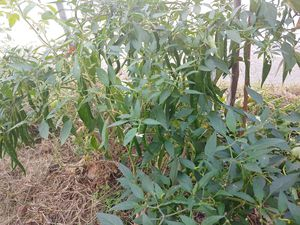 Organic peper for Sale in Virginia Beach, VA
