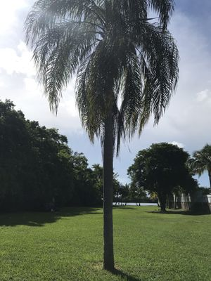Foxtail Palm Tree 20ft for Sale in Miami, FL