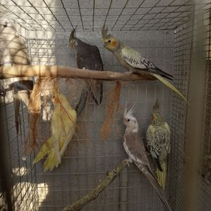 Young Cockatiels for Sale in Lake Wales, FL