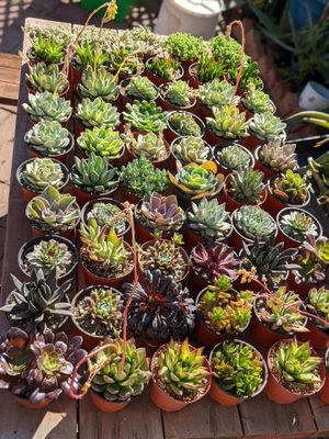 "4"" Succulents for Sale in Tucson, AZ"