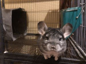 Cage with two chinchillas for Sale in Shelbyville, KY