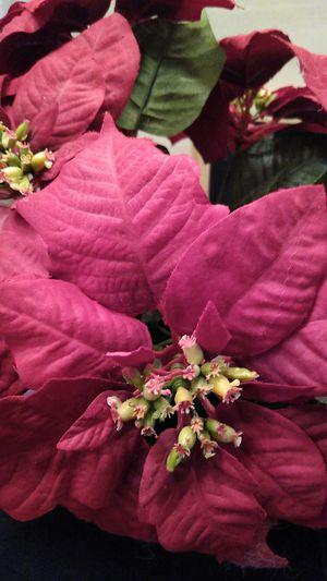 Poinsettia for Sale in Everett, WA