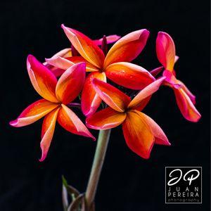 "Plumeria ""Kauka Wilder"" for Sale in Davenport, FL"
