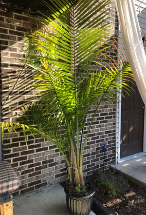 Palm tree for Sale in Mechanicsburg, PA