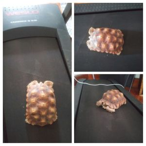 Sulcata Tortoise for Sale in Columbus, OH