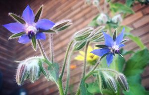 """6"""" potted Borage for Sale in Salt Lake City, UT"""