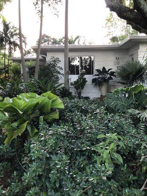 Green Island Ficus for Sale in Miami, FL