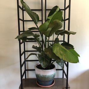 Birds of Paradise Plant in Ceramic Pot for Sale in Alexandria, VA