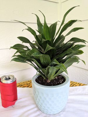 Dracaena Janet Craig Plant in Light Blue Ceramic Planter Pot- Real Indoor House Plant for Sale in Auburn, WA