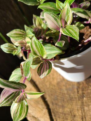 Pink Tricolor Tradescantia Plant for Sale in Burbank, IL
