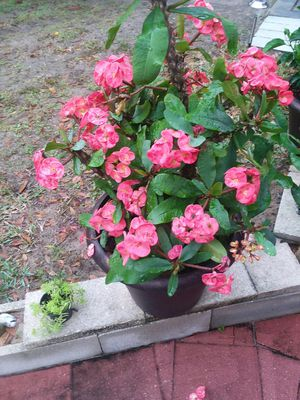 Roses for Sale in Avon Park, FL