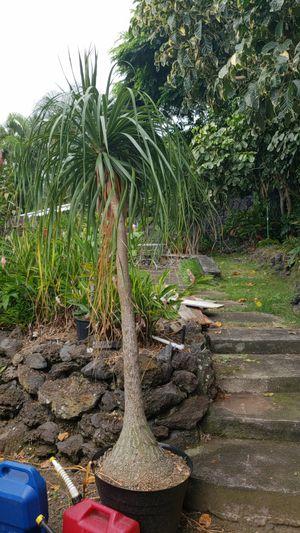 Cool tree 6ft tall for Sale in Kailua-Kona, HI