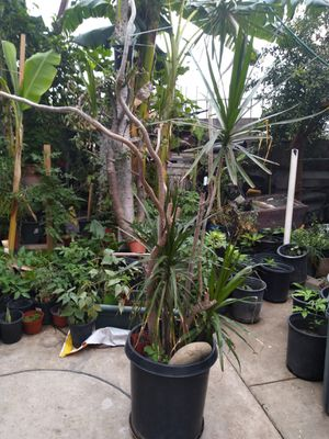 Spider queen plants for Sale in Los Angeles, CA