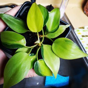 Philodendron Brasil (3in Pot) for Sale in Gladewater, TX
