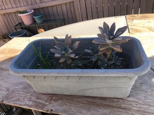 Succulent real plant for Sale in Hemet, CA