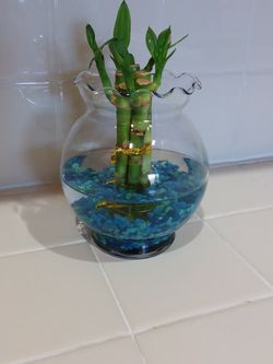 Lucky - Bamboo Plant for Sale in Long Beach,  CA
