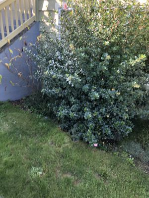 Free shrubs / bush with flowers for Sale in Everett, WA