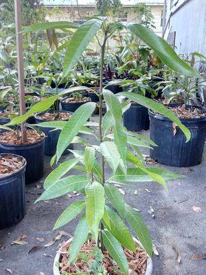 Mango plant for Sale in Bartow, FL
