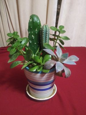 Succulents en maceta cerámica chica for Sale in Bell, CA