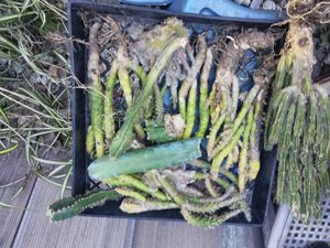 """Last of the 🌵, plus asst succs for """"R"""" for Sale in Fullerton, CA"""