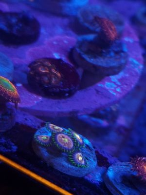 Zoa Coral frag for Sale in Los Angeles, CA