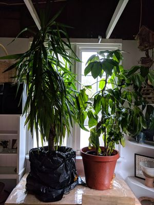 Two beautiful plants (actually small tree plants) were originally listed for free by mistake but owner would like to sell them for Sale in Severna Park, MD