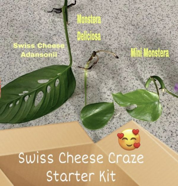Love the Green Swiss Cheeses?