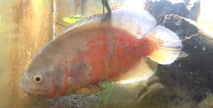 Large Oscar Cichlid for Sale in Pasco, WA