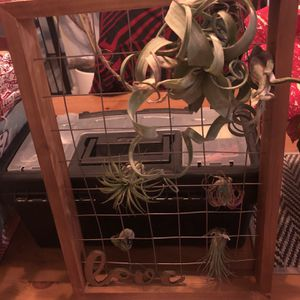 Air Plant Holder Including The Plants for Sale in San Leandro, CA