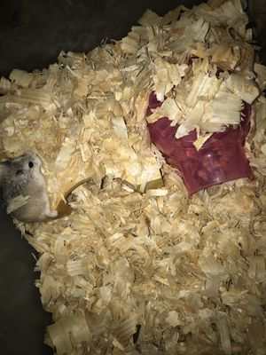 Dwarf hamster with take and Lil igloo for Sale in San Antonio, TX