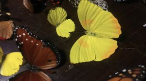 Real Butterflies for Sale in Miami, FL