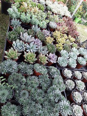 "4"" pots with succulent plants $2.50 each for Sale in La Mirada, CA"
