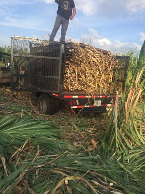 Sugar cane caña dulce for Sale in Hialeah, FL