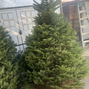 Arboles Douglas Fir $60 7-8 Pies for Sale in South El Monte, CA