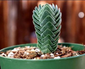Buddha's Temple Succulent Plant for Sale in Fresno, CA