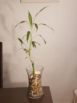 !! BAMBOO PLANT !! for Sale in Miami Beach, FL