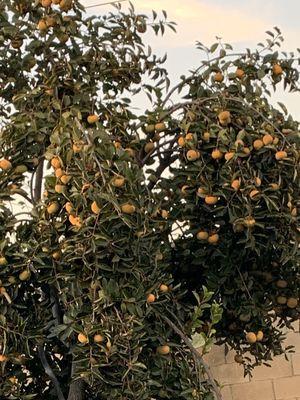 Persimmons for Sale in Montebello, CA