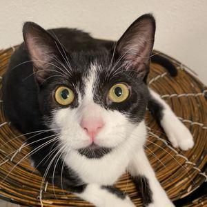 Tuxedo Boy Kitten for Sale in McKinney, TX
