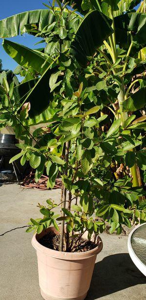 Guava guayaba tree for Sale in Lawndale, CA