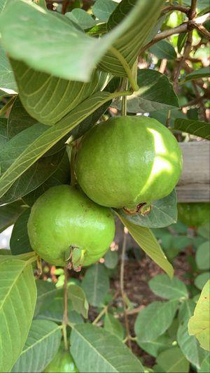 Guavas for Sale in Fresno, CA