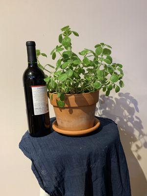 Plectranthus (Vick's Plant) for Sale in Paramus, NJ